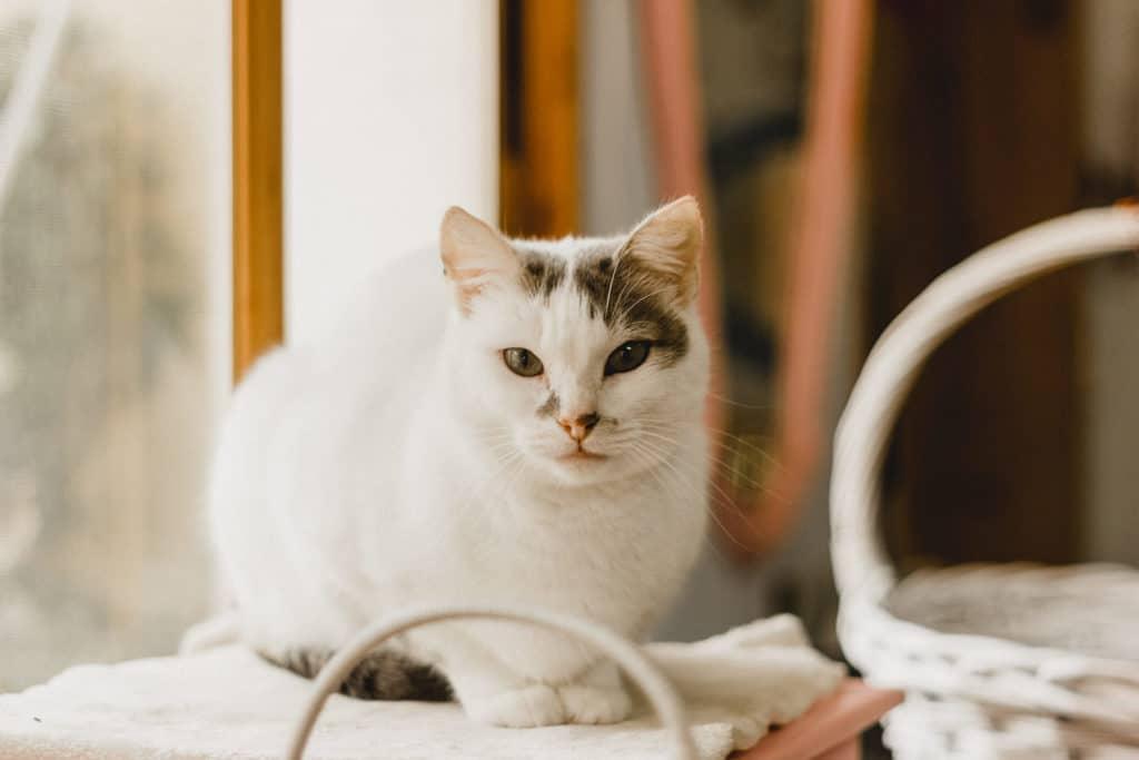 gata de Solano Atelier mirando a cámara
